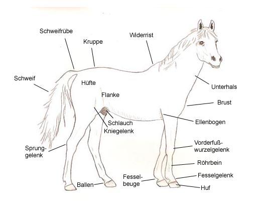 pferd zerrung hüfte